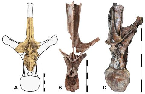 carpenter2018-amphicoelias-fragillimus-is-maraapunisaurus-fig5.jpeg